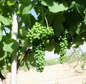 Grapes as part of the family