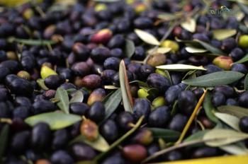 Le olive di collina